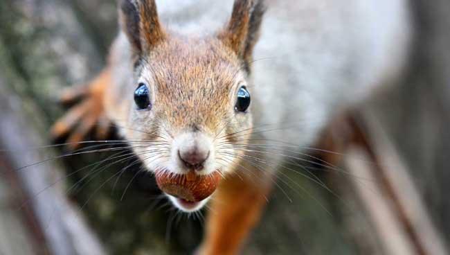 Capture d'écureuils à Repentigny, Laval, etc.