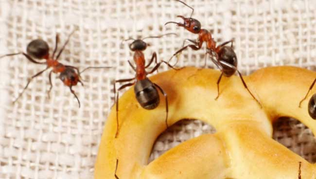 Exterminateur de fourmis à Repentigny, Laval, etc.