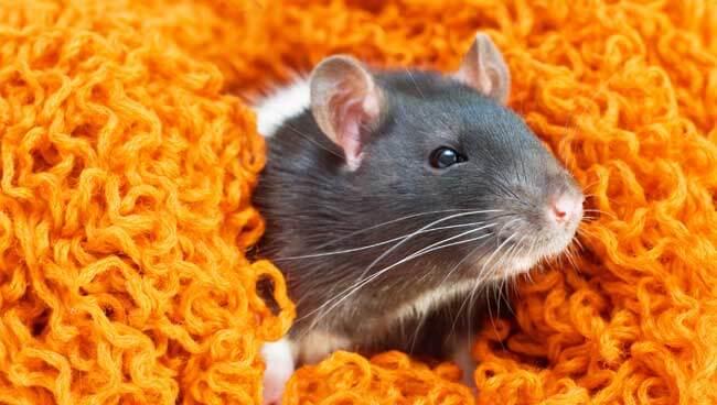 Exterminateur de rats à Repentigny, Laval, etc.