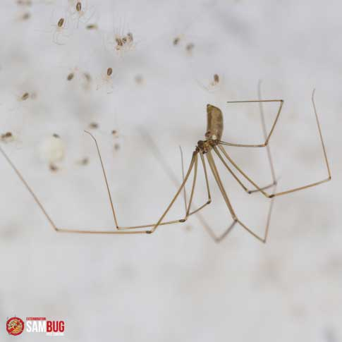Araignée nuisible