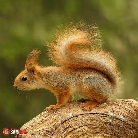 Capture d'écureuils