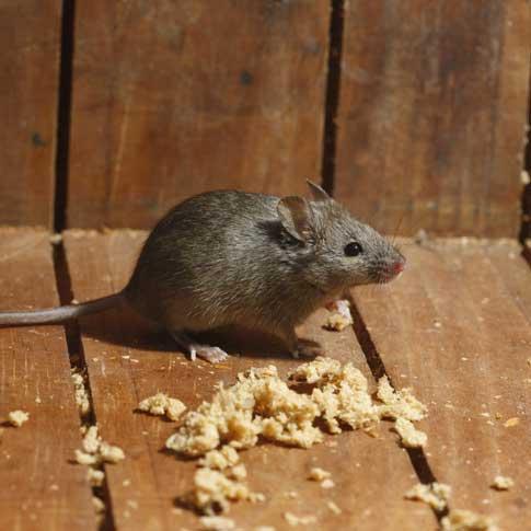Dommage par des souris nuisibles