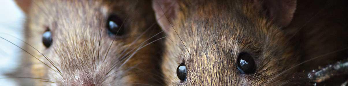 Exterminateur de rat au Québec, Canada