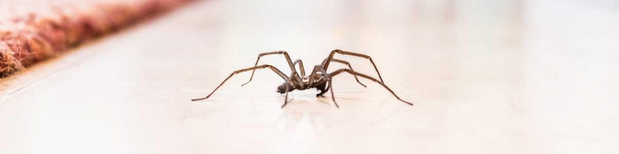 Exterminateur SamBug pour araignées