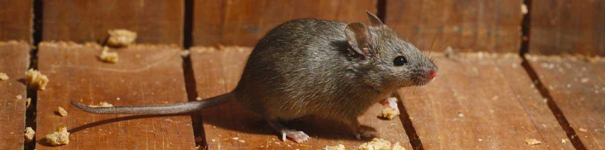 Exterminateur de souris au Québec, Canada