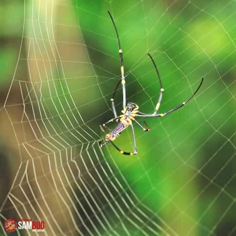 Extermination d'araignée par SamBug
