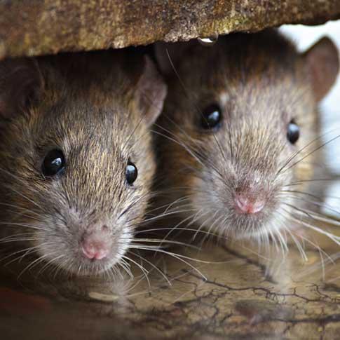 Infestation de rats nuisibles