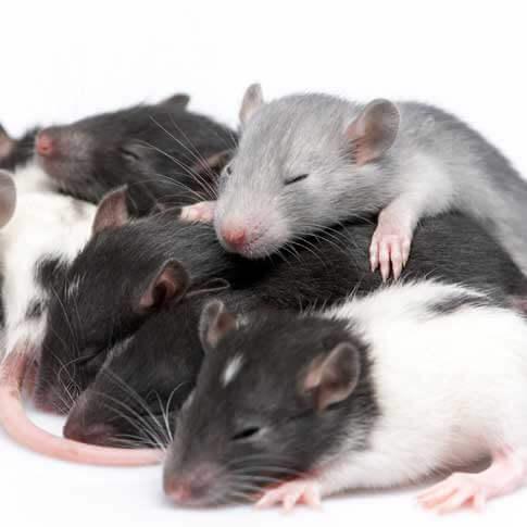 Infestation de souris nuisibles