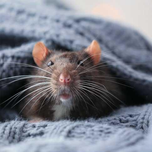 Professionnel exterminateur Rats