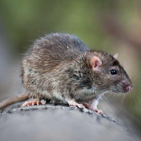 Reproduction rat gris