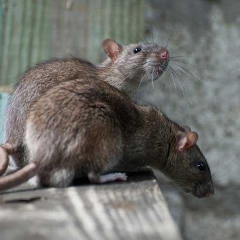 Souris ou rats - extermination