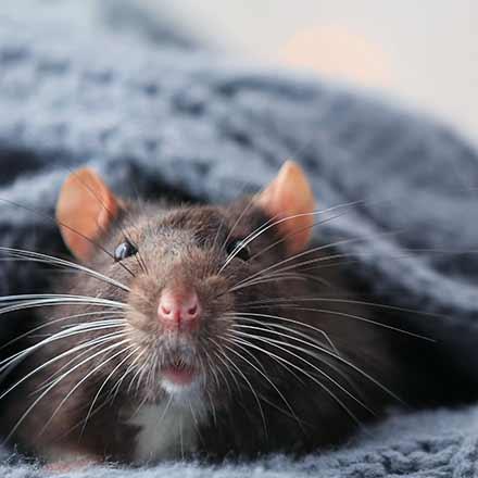 Éradication de rats et souris à Terrebonne