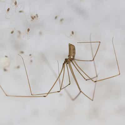 Extermination d'araignées à Repentigny