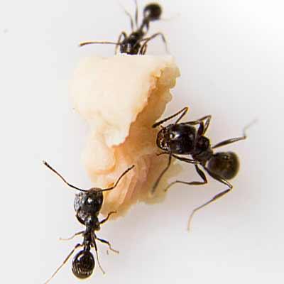 Extermination de fourmis à Terrebonne, Lachenaie