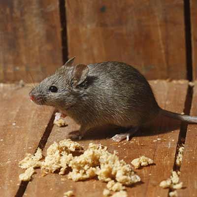 Extermination de souris à Terrebonne, Lachenaie