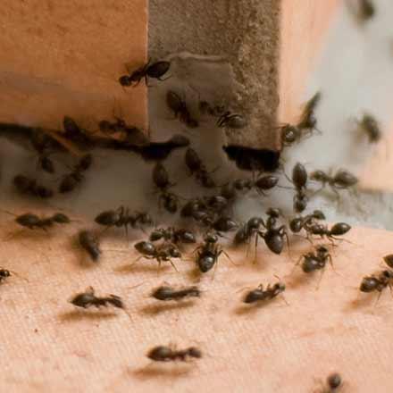 Infestation de fourmis à l'Assomption