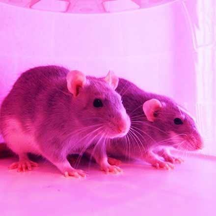 souris et rats à Charlemagne