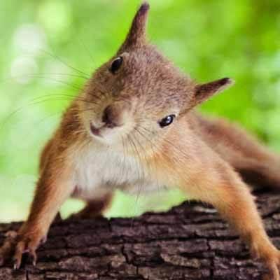 Capture d'écureuils à Laval