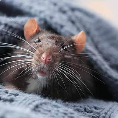 Extermination de rats et souris à Laval