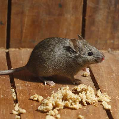 Extermination de rats et souris à Lavaltrie